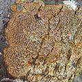 Pyrenula ochraceoflava - Flickr - pellaea (1).jpg