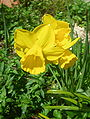 Quail Narcissus.jpg