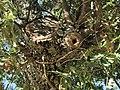 Quercus-pyrenaica-3.jpg