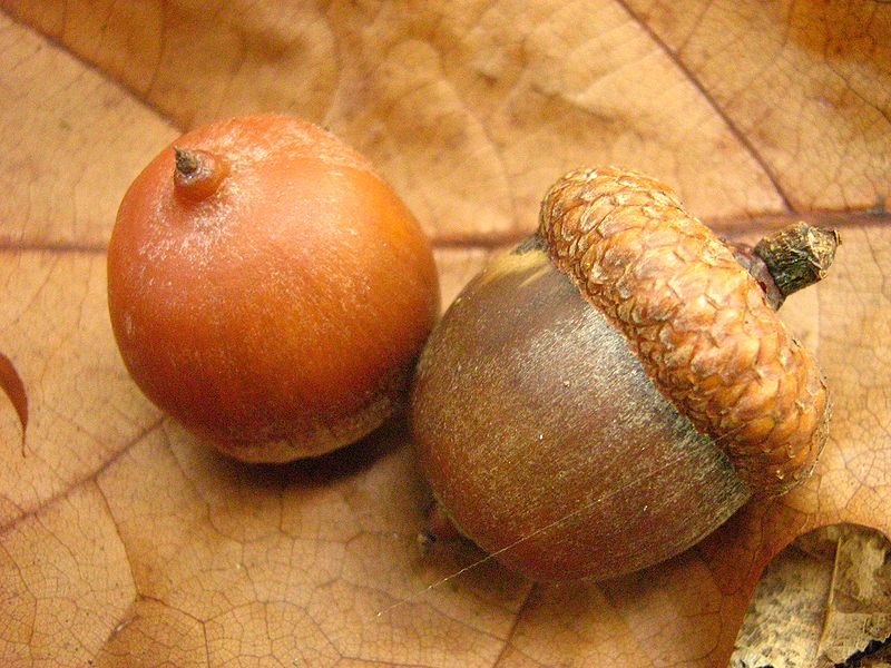 File:Quercus-rubra-fruits-11-10-2007-080.jpg