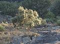 Quercus ilex ballota 20130724 1.jpg