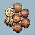Quercus palustris seeds.jpg