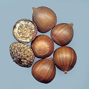 Quercus palustris seeds (Acorns)