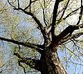 Quercus rubra - Palmengarten Frankfurt.jpg