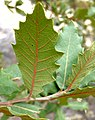Quercus turbinella leaves 2.jpg