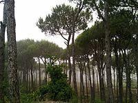 R'as Al-matn pine forest-Lebanon.jpg