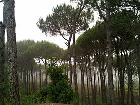 R'as Al-matn pine forest-Lebanon.jpg