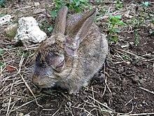 Rabbit lies in her pee
