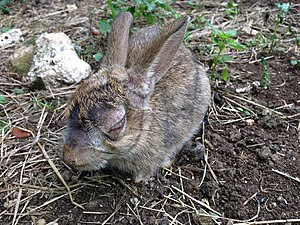 Myxomatosis - European rabbit on Flat Holm, Wales, infected with myxomatosis, caused by the ''myxoma'' virus