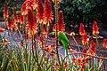Rainbow lorikeet and Aloe sp Brisbane Botanic Gardens Mt Coot-tha IMGP3966.jpg