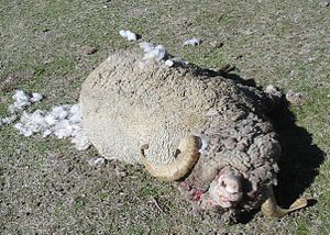 Domestic sheep predation - One of several rams and wethers that were killed during an attack by domestic dogs.
