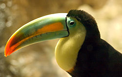 Ramphastos sulfuratus -Spain -Zoo -upper body-8a.jpg