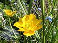 Ranunculus acris4.jpg