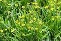 Ranunculus flammula in West Coast Region 02.jpg