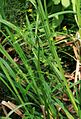 Ranunculus sceleratus 2.jpg