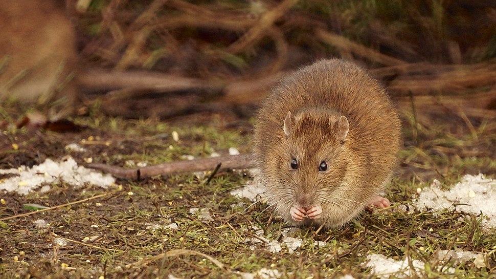 Rattus norvegicus, Hatchpond, Poole, Dorset (8395418976)