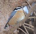 Red-breasted Nuthatch (31635704070).jpg