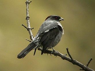 Cotinga - Image: Red crested Cotinga Ecuador DSCN2925