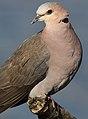 Red-eyed Dove Streptopelia semitorquata at Marievale Nature Reserve, Gauteng, South Africa (32587269063).jpg