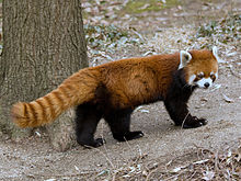 A red panda standing on the ground