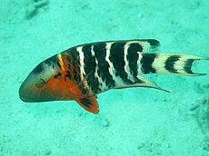Red Breast Wrasse.jpg