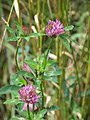 Red Clover (Trifolium pratense) - geograph.org.uk - 947946.jpg