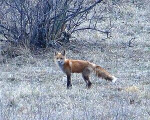 Ridgeline Open Space - Image: Red Fox Ridgeline Open Space Castle Rock, Colorado