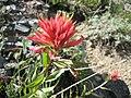 Red Indian Paintbrush.jpg