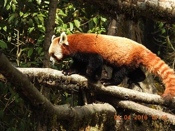 Red Panda on the Tree Top.jpg