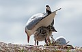 Red billed gull and chick. (8064359974).jpg