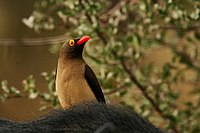 Red billed oxpecker close