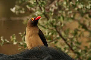 Red-billed oxpecker - Image: Red billed oxpecker close