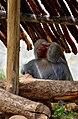 Red bottom baboon - mysore zoo.jpg