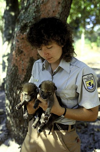Captive breeding - USFWS staff with two red wolf pups bred in captivity