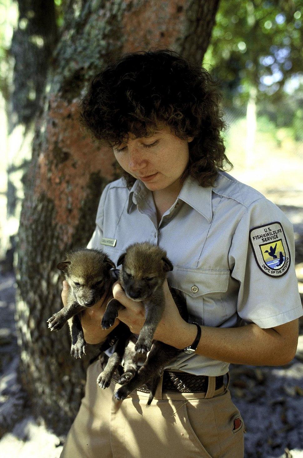 Red wolf pups - captive breeding