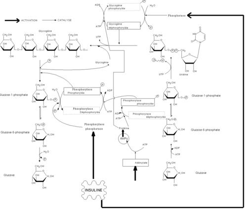 Esquema de la acción conjunta de la insulina, glucagón y adrenalina sobre el metabolismo glucídico