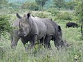 Rhinos (393128486).jpg