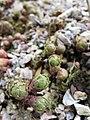 Rhodiola rosea (Botanischer Garten TU Darmstadt) 001.jpg