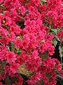 Rhododendron 'Euratom' 02.JPG