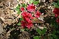 Rhododendron Bixby 0zz.jpg