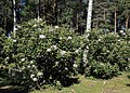 Rhododendron Tuiranpuisto Oulu 20180521 03.jpg