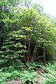 Rhododendron auriculatum - RHS Garden Harlow Carr - North Yorkshire, England - DSC01170.jpg