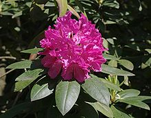 220px-Rhododendron_catawbiense.jpg