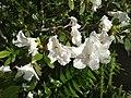 Rhododendron cv. Kiev Grishko 14.jpg