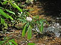 Rhododendron maximum (rosebay rhododendron) (Great Smoky Mountains, Tennessee, USA) (37130728231).jpg