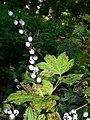 Ribes bracteosum 26343.JPG