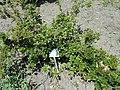 Ribes orientale - Copenhagen Botanical Garden - DSC08056.JPG