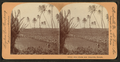 Rice fields near Honolulu, Hawaii, from Robert N. Dennis collection of stereoscopic views.png