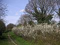 Richmond 069 May in bloom.JPG