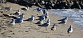 Ring-billed Gulls (6778906045).jpg